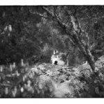 Zwart wit foto van een wolf